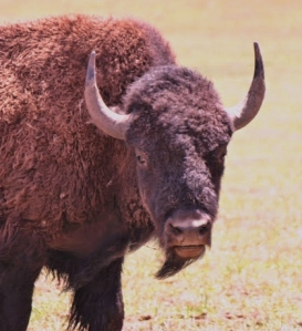 buffalo 2