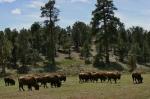 buffalo group