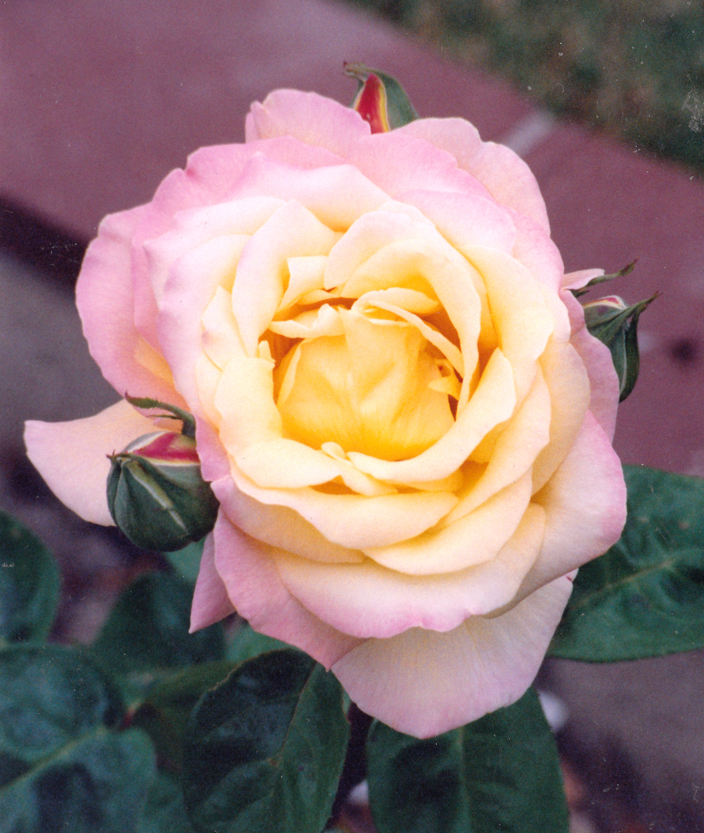 Quotes About Roses Learn More Every Day