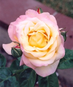 full yellow pink rose 3 buds