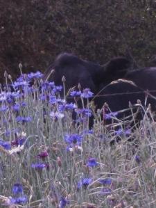 A Cow Playing Hide & Seek