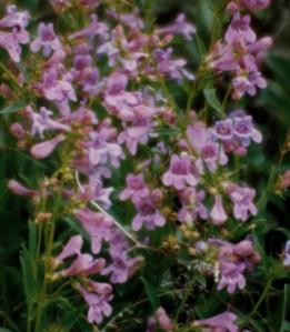 Kolob Flowers 2