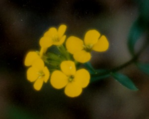 Kolob Flowers 5