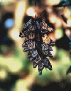 monarch clump 2