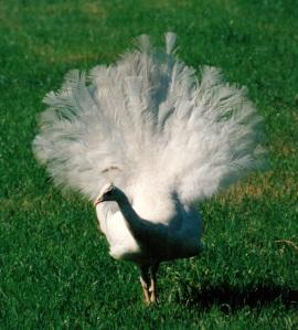 peacock 2 tail