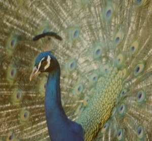 peacock arboretum
