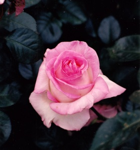 pink bud opening