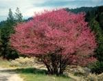 pink tree along I-5
