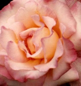pinkish close cropped