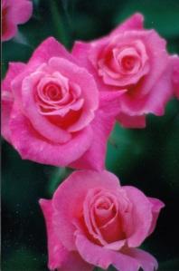 three bold pink