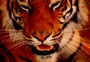 tiger up close