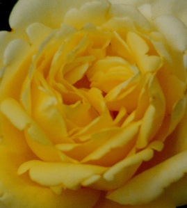 yellow rose cropped close