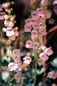 Zion flowers 3