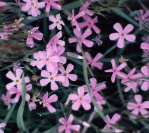 Zion flowers 4_0001