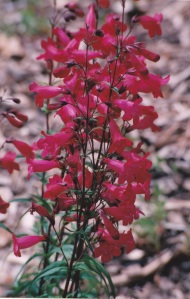 Zion flowers 5