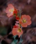 Zion flowers 6