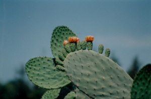 cactus orange flowers