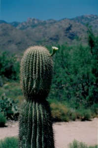 cactus white flower