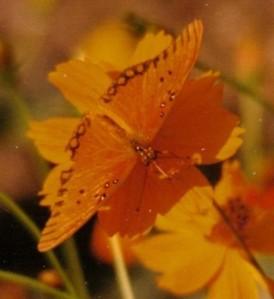 butterfly in orange flower