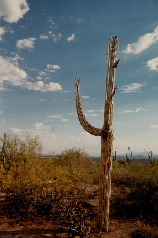 dead saguaro 1997
