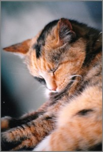 napping cat