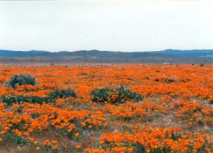 poppies golden valley