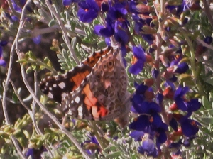 Shy Painted Lady