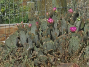 Beavertail Cactus by Visitor Center