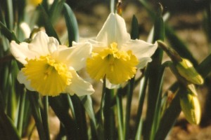 light daffodills