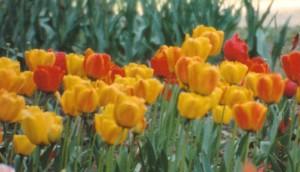 mulit tulips