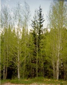 new birch leaf growth