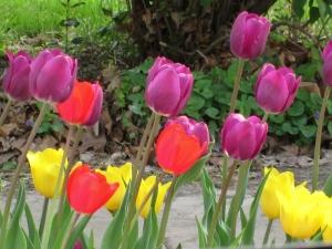 Day 2 R & R Pella Tulips 011