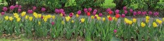 Day 2 R & R Pella Tulips 013