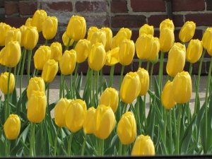 Day 2 R & R Pella Tulips 014