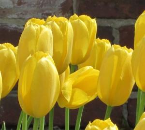 Day 2 R & R Pella Tulips 015