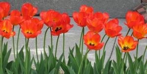 Day 2 R & R Pella Tulips 019