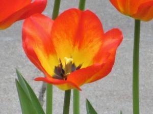 Day 2 R & R Pella Tulips 025