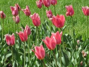 Day 2 R & R Pella Tulips 046