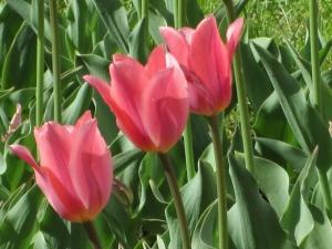 Day 2 R & R Pella Tulips 048