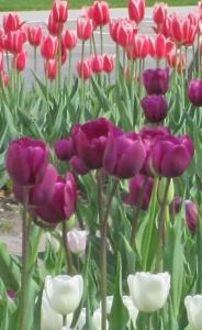 Day 2 R & R Pella Tulips 057