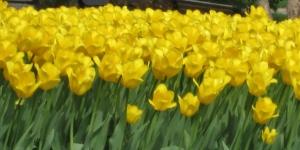 Day 2 R & R Pella Tulips 070