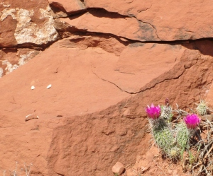 Small Cactus Holding On Near Sedona