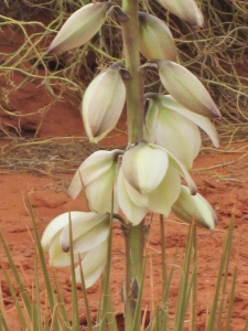 Yucca Bloom Up Close