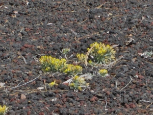 Growing Out of Lava, Sunset Crater National Park