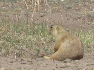 Prairie Dog, Valles Caldera National Preserve