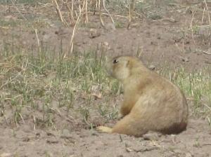 Prairie Dog, Valles Caldera National Preserve