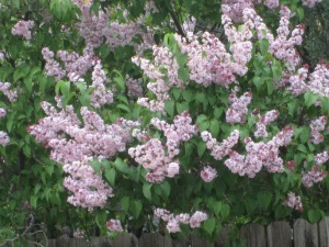 Lilacs in a Back Yard in Gallup