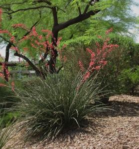 False Red Yucca (Hesperaloe), Las Vegas
