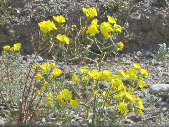 Golden Evening Primrose