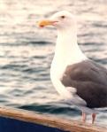 gull close